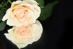 Very pretty rose close up on the mirror royalty free stock photos