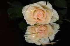 Very pretty rose close up on the mirror stock image