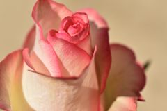 Beautiful colorful rose rose in the sunshine royalty free stock image