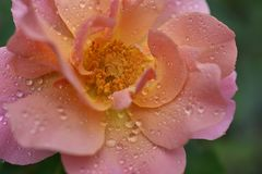 Beautiful colorful rose my garden royalty free stock image