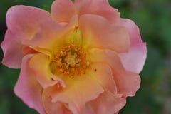 Beautiful colorful rose my garden royalty free stock photos