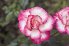 Very pretty colorful rose close up in my garden Stock Photo