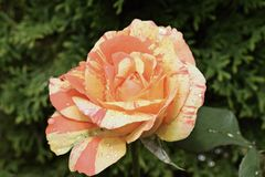 Very pretty colorful rose close up in my garden Royalty Free Stock Images
