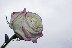 Very pretty colorful rose Royalty Free Stock Images