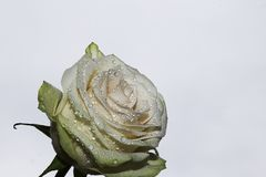Very pretty colorful roses Stock Photography