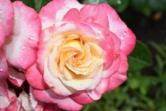 Beautiful colorful rose close up in my garden Royalty Free Stock Image
