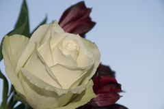 Very pretty colorful rose close up Royalty Free Stock Photography