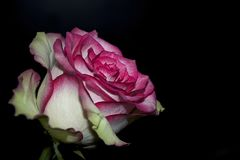 Very pretty colorful rose close up Stock Photos