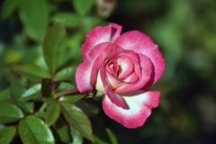 Very pretty colorful rose in my garden stock photography