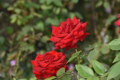 Very pretty colorful rose in my garden royalty free stock photos