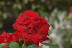 Very pretty colorful rose in my garden stock photo