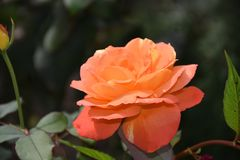 Very pretty colorful rose in my garden royalty free stock photography