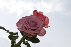 Very pretty colorful rose in the sunshine Stock Image