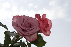 Very pretty colorful rose in the sunshine Royalty Free Stock Photo