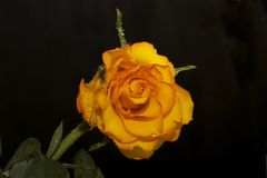Very pretty colorful rose in the sunshine Royalty Free Stock Photography