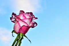 Very pretty colorful rose close up in the sunshine stock photos