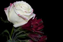 Very pretty colorful rose close up Royalty Free Stock Photo