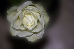 Very pretty colorful rose close up Royalty Free Stock Photos