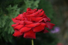 Very pretty colorful rose in my garden stock photos