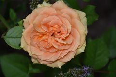 Very pretty colorful rose in my garden stock images