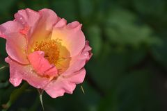 Beautiful rose close up in my garden royalty free stock photo