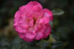 Beautiful rose close up in my garden stock photography