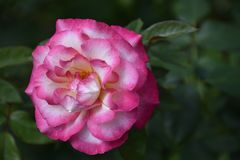 Beautiful rose close up in my garden royalty free stock image