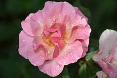 Beautiful rose close up in my garden royalty free stock photography