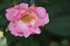 Beautiful rose close up in my garden stock images