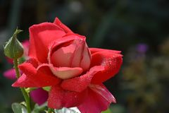Beautiful rose close up in my garden stock image