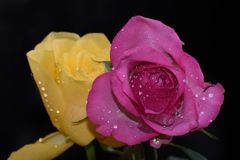 Very pretty colorful rose in the sunshine stock photo