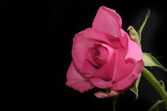 Very pretty colorful rose in the sunshine royalty free stock image
