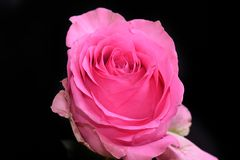 Very pretty colorful rose in the sunshine royalty free stock photos