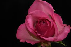 Very pretty colorful rose in the sunshine stock photography
