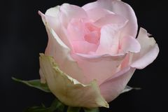Very pretty colorful rose in the sunshine stock photos