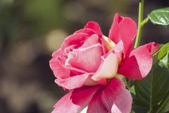 Very pretty colorful rose in the sunshine Royalty Free Stock Images