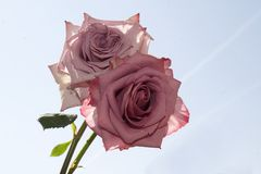 Very pretty colorful rose in the sunshine Stock Images