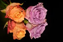 Beautiful roses close up on the mirror royalty free stock photography
