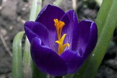 Very pretty colorful spring crocus close up royalty free stock image