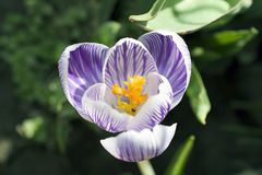 Very pretty colorful spring crocus close up Stock Image