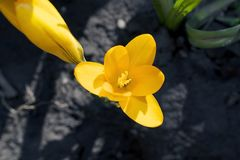 Very pretty colorful spring crocus close up Royalty Free Stock Photos