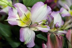Very pretty colorful spring flower close up in my gareden royalty free stock photo