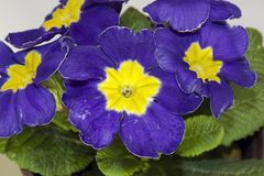 Very pretty colorful spring flowers close up stock photos