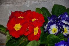 Beautiful colorful spring flowers close up in the sunshine stock images