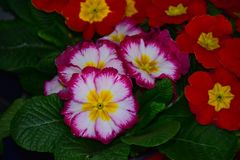Beautiful colorful spring flowers close up in the sunshine stock photo