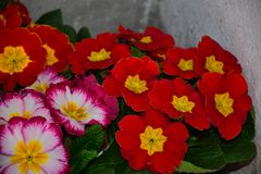 Beautiful colorful spring flowers close up in the sunshine stock photography