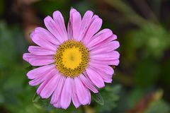 Beautiful colorful summer flower in my garden Royalty Free Stock Images