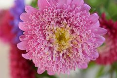 Beautiful colorful summer flower in my garden stock photography