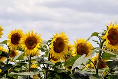 Very pretty sunflowers field in the sunshine stock photo
