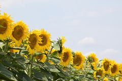 Very pretty sunflowers field in the sunshine royalty free stock photos